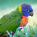 Young Rainbow Lorikeet