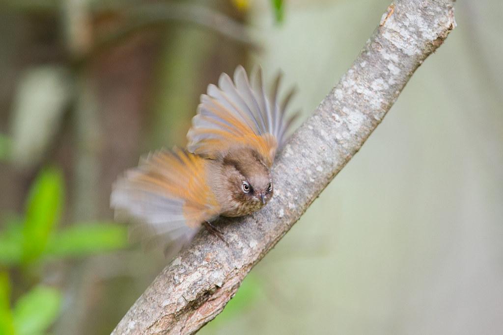 褐頭花翼-1044