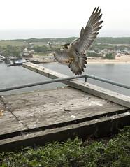 2014 Banding of Falcons on MTA Bridges