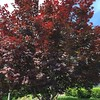 #red #japanesemaple in the #sun in #Oakville