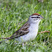 Chipping Sparrow 20150702 by Woody Woodsman