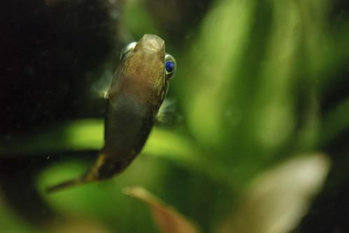 Carinotetraodon travancoricus (dwarf puffer)