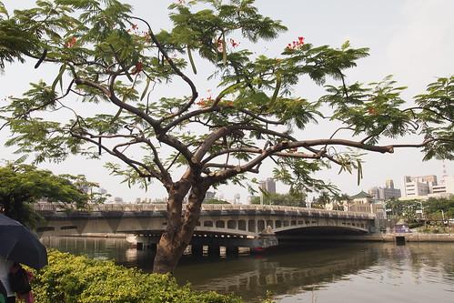 適度修剪樹冠增加樹冠透氣,減少雜亂枝條和維持樹形。李育琴攝
