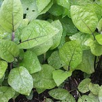 eggplant planting in Garden by bokunenjin