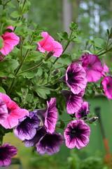 annual plant, geranium, flower, plant, wildflower, flora, petal,