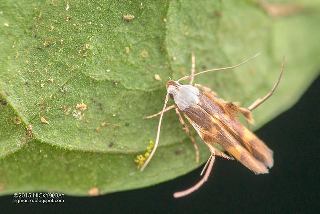 Moth (Microlepidoptera) - DSC_5526
