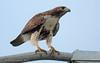 Juvenile Red-tailed hawk (Buteo jamaicensis)