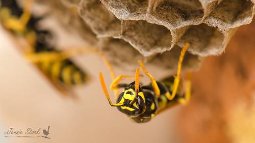 More wasps