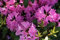 annual plant, shrub, flower, plant, flora, azalea,