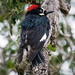 Acorn Woodpecker by crewl1