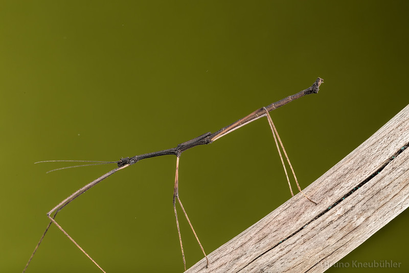 "Medaurini sp. ""Cat Tien"" - new phasmid species from Vietnam 9182391549_615236a159_c"