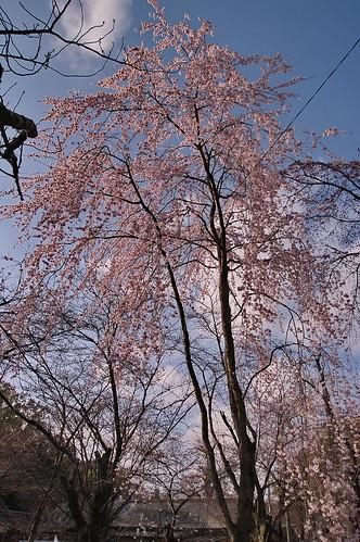 【写真】2013 桜 : 平野神社/2021-01-09/IMGP8718