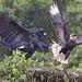Great Black Hawk vs Crested Caracara