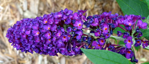 Butterfly bush, Buddleja davidii, flowering head in IN rest area