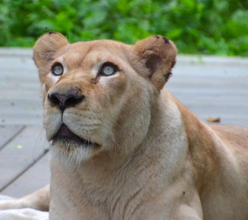 summer nature lion july felines lioness bigcats whitelion cincinnatizoo whitelioness mygearandme vigilantphotographersunite vpu2 jennypansing
