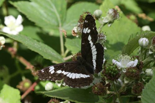 White Admiral  Limenitis camilla