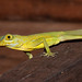 Grenada Tree Anole - Photo (c) Mark Yokoyama, some rights reserved (CC BY-NC-ND)