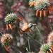 Small photo of Amazilia Hummingbird (Amazilia amazilia)