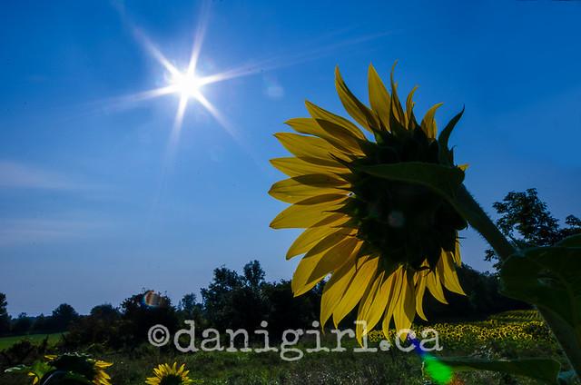 对向日葵农场的情书