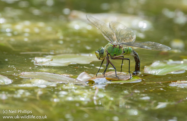 Emperor dragonfly egg laying-4