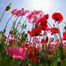 お日様めざして - Blooming corn poppies -