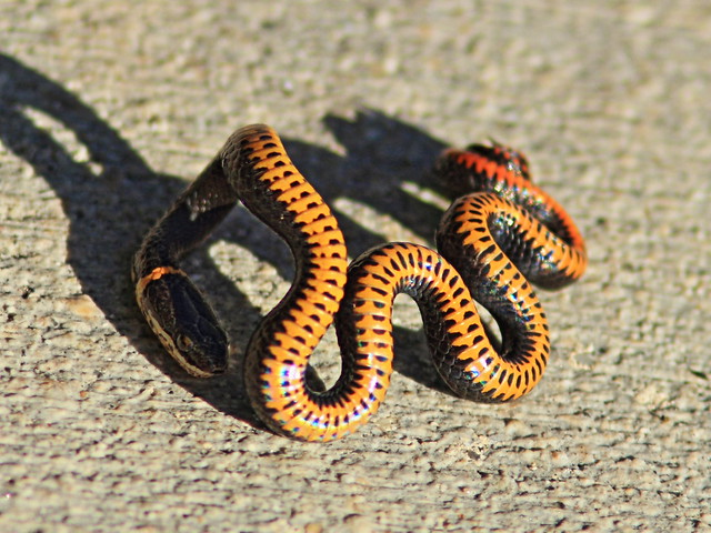 Southern Ringneck Snake 2-20131224