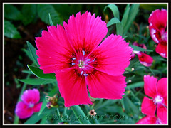 Vibrant magenta-coloured Dianthus, 18 Dec 2013