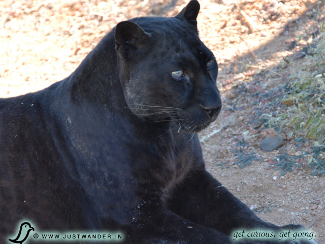 PIC: Out of Africa - Black Leopard