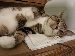 domestic long-haired cat, animal, polydactyl cat, small to medium-sized cats, pet, mammal, european shorthair, cat, whiskers, manx, domestic short-haired cat,