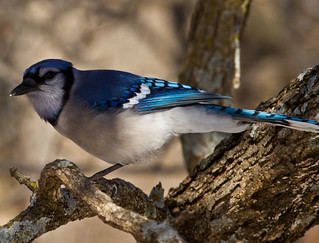 Blue Jay in a Black Jack