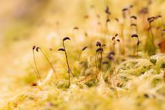 Moss calyptra