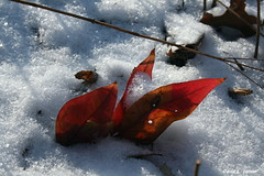 Nandina Leaves In Snow