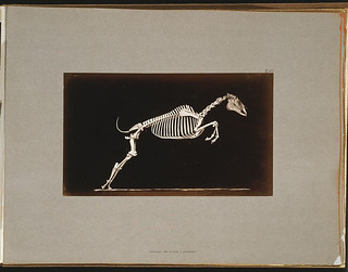 Skeleton of horse. Leaping. Leaving the ground (LOC)