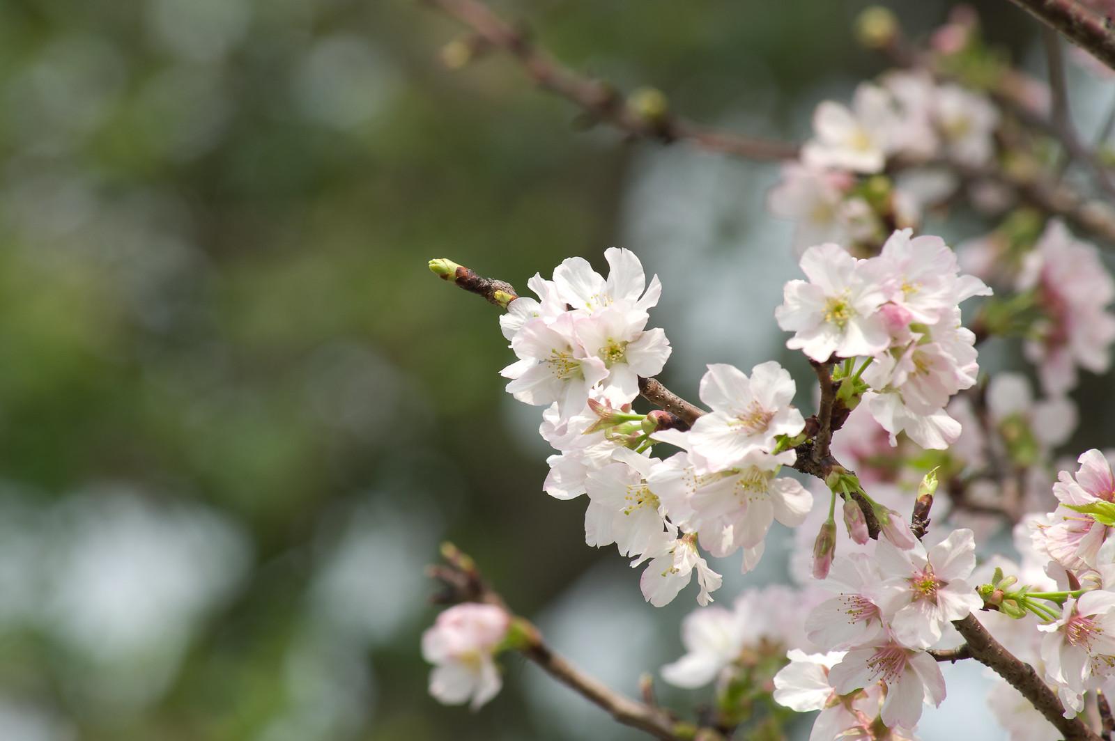四月.台北.櫻