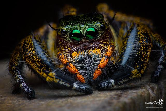 Jumping Spider ( Hyllus Sp )