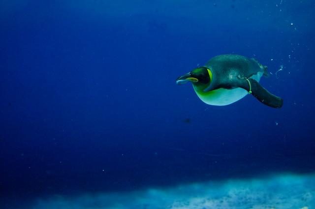 オウサマペンギン King Penguin