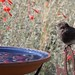 BlackPhoebe_birdbath_2588a