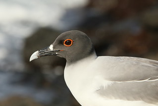 Swallow-tailed Gull.  Galapagos, Ecuador.