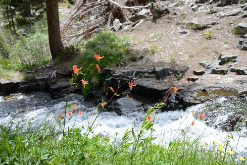 Columbines at Duck Creek