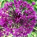 Several types of alliums in bloom in my garden (or about to bloom)