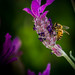 Honey Bees on Lavender-19.jpg