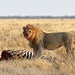 Lion with Zebra kill (Neil Macleod)