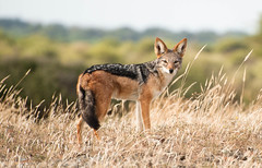 animal, prairie, mammal, jackal, fauna, red fox, kit fox, coyote, wildlife,
