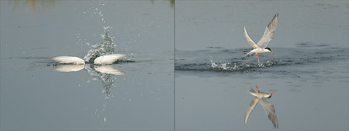 Common Tern panorama