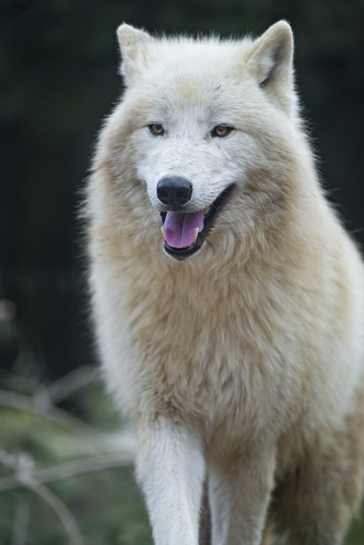 Cute standing polar wolf by Tambako the Jaguar