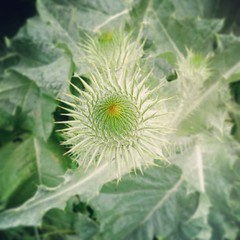 flower, thistle, plant, macro photography, flora, green, produce, close-up,