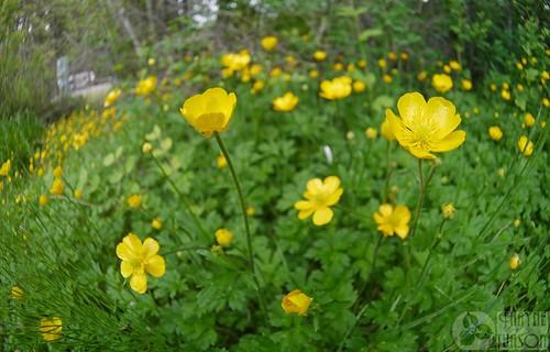 washington weed buttercup ranunculus ranunculaceae nonnative introduced creepingbuttercup ranunculusrepens klickitatcounty