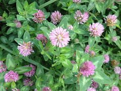 bee balm(0.0), scarlet beebalm(0.0), annual plant(1.0), flower(1.0), ironweed(1.0), plant(1.0), herb(1.0), wildflower(1.0),