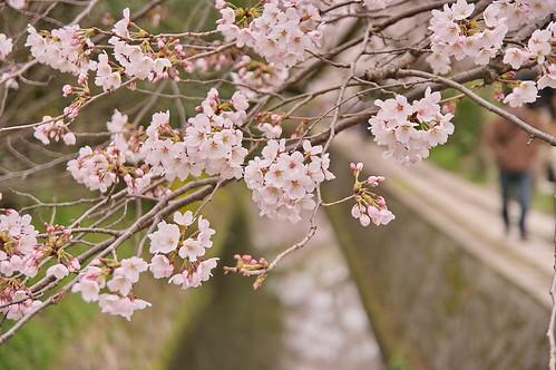 【写真】2013 桜 : 哲学の道/2018-12-24/IMGP9221