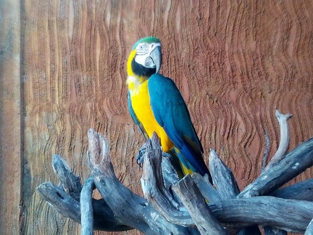 Синий ара